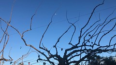 Bare Branches and a Moon (RobW_) Tags: bare branches moon neazoi psarotaverna fish taverna markopoulos oropos attki greece sunday 17mar2019 march 2019