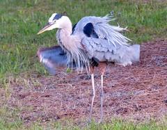 Blue Heron near Sunset-  L1130569~2 (mshnaya ☺) Tags: water bird fowl fly flihht fauna heron blue audubon florida aquatic sea pond marsh nature wildlife sanctuary flickr camera photo point shoot compact leica
