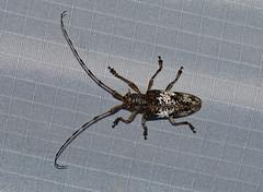 Longhorn Beetle —- Pharsalia sp (creaturesnapper) Tags: malaysia asia insects stephensplace frasershill coleoptera cerambycidae longhornbeetles pharsalia