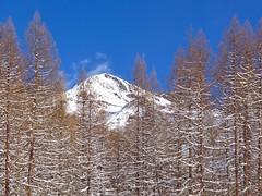 Larici dopo la nevicata (giorgiorodano46) Tags: marzo2019 march 2019 giorgiorodani solda sulden altoadige sudtirolo italy inverno winter hiver