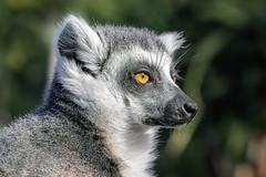Lemur 2019-03-24 (7D_182A6903) (ajhaysom) Tags: lemur melbournezoo canoneos5dmkiii canon100mmlmacro melbourne australia