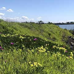 At the Bayside (Melinda * Young) Tags: oxalis shore bay richmond park ebrp spring clouds sunshine weather hotentotfig invasive pink yellow grass weeds carpobrotus edulis square