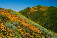 Walker Canyon (Kimihiro-kun) Tags: califoniapoppy poppy nature landscape