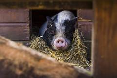 Pig (tombola007) Tags: varken piggie kinderboerderij