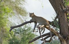 Female Leopard - Panthera pardus (rosebudl1959) Tags: 2019 kenya leopard elephantbedroomcamp samburu female