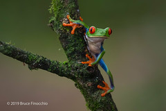 Red-eyed Tree Frog Uses All Four Feet To Hold On To A Branch (brucefinocchio) Tags: redeyedtreefrog treefrog moistbranch amphibian frog froghaven agalychniscallidryas caribbeanlowlands moisture