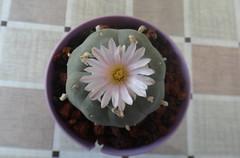 Lophophora williamsii (armen.cactus) Tags: cactus succulent lophophora williamsii peyote