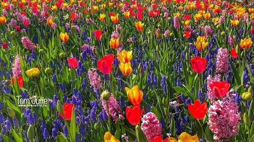 Colorful flowers, Keukenhof Gardens, Netherlands - 2456