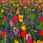 Colorful flowers, Keukenhof Gardens, Netherlands - 2456 thumbnail