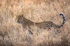 Leopard in the Grass (helenehoffman) Tags: africa conservationstatusvulnerable kenya leopard pantheraparduspardus africanleopard lewawildlifeconservancy