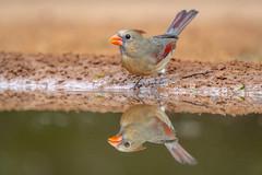 At the watering hole (tspine) Tags: northerncardinal santaclararanch texas