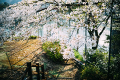 SAKURA_2019 (oceanus2007 (***busy***)) Tags: sony a7 a7ii a7mk2 voigtlander nokton 40mm f14 lmea7 flower sakura kochi shikoku digital vsco