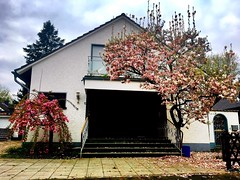 #Blühendes #Land (RenateEurope) Tags: blühendes land rheinland nrw germany 2019 nature trees magnolia flora iphoneography renateeurope