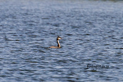 Great Crested Grebe, Marievale, Gauteng, March 2019 (roelofvdb) Tags: 6 greatcrestedgrebe grebe grebegreatcrested southernafricanbirds