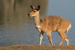 Antílope Geroglifico (ik_kil) Tags: antílopegeroglifico bushbuck antelope tragelaphusscriptus kruger krugernationalpark southafrica