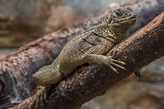 Philippine Sail-Finned Lizard (Bob Worthington Photography) Tags: zoo122918 sandiegozoo canon7dmarkii canon70200f28lisii