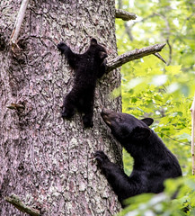 DSC_6033 (TDog54Photography / TCS Photography) Tags: black bear bears smoky mountains tennessee cades cove wildlife wild life animal american north america ursus americanus animals forest national park great cubs cub
