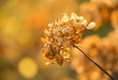 Winter Sun II (paulapics2) Tags: hydrangea flower driedflower winter flora nature garden canoneos5dmarkiii canonef70300mmf456lisusm