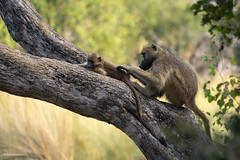 Grooming (He Ro.) Tags: 2018 africa afrika botswana kanana okavangodelta southernafrica safari baboon mammal pavian treebranch grooming wild wilderness nature baum wald ast goldwildlife ngc
