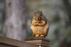 214/365/3866 (January 11, 2019) - Fox Squirrels in Ann Arbor at the University of Michigan - January 11th, 2019 (cseeman) Tags: gobluesquirrels squirrels foxsquirrels easternfoxsquirrels michiganfoxsquirrels universityofmichiganfoxsquirrels annarbor michigan animal campus universityofmichigan umsquirrels01112019 winter eating peanuts acorns januaryumsquirrel 2019project365coreys yearelevenproject365coreys project365 p365cs012019 356project2019