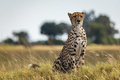 Cheetah on the lookout II (He Ro.) Tags: 2018 africa afrika botswana safari southernafrica gepard gepardin cheetah acinonyxjubatus cat wild wilderness carnivore animal botsuana okavangodelta shindeconcession portrait naturethroughthelens