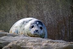 Young Seal at Horsey Gap (Gemma Hampton) Tags: seal pup norfolk horsey horseygap coastal beach sand
