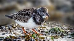Turnstone (waynedavey67) Tags: canon 7dmkii canon7dmkii 600mmlf4 turnstone shorebird bird nature wildlife wildandfree nesspoint uk