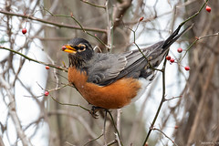 Lunchtime! (swmartz) Tags: nikon nature newjersey outdoors wildlife february 2019 assupink birds robin berries berry food d610 200500mm