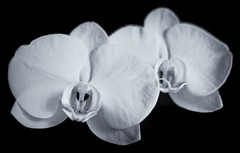 Orchids (soboy5) Tags: mono monochrome 23mm bw blackandwhite flower flowers orchid texture textures blossom blossoms fujifilm fuji xt1 macro dof f2