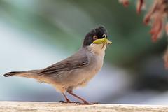 Occhiocotto (Marcello Giardinazzo) Tags: sylvia melanocephala occhiocotto natura avifauna birds