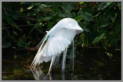 Great Egret (Reefside) Tags: greategret gatorland