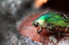 Green Rose Chafer (Eklandet) Tags: aurata beetle cetonia chafer pomegranate rose fruit insect macro macrophotography mold rotten