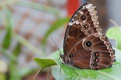 Les papillons au jardin botanique de Villers Les Nancy 54. France . (mousse.annick) Tags: papillon macro insecte butterfly sony bokeh