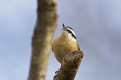 close and looking up (G_Anderson) Tags: nuthatch missouri winter birding backyard