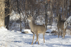 Alerted (Canon Queen Rocks (2,777,000 + views)) Tags: deer whitetaileddeer doe tail snow park trees wildlife wild nature calgary alberta shadows white