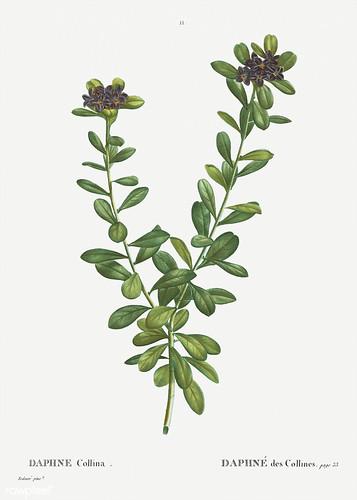Daphne sericea flowers