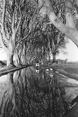 (Hang923) Tags: leicam4p kodakdoublex film blackandwhite bw uk northernireland darkhedges analog