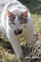 Got you..... (chk.photo) Tags: salzburg austria animal nature cat katze ngc mouse natur naturemasterclass naturewatcher