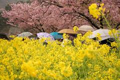 Rainy Day (yukky89_yamashita) Tags: 静岡 河津町 菜の花 春 雨 傘 rain japan shizuoka kawazu umbrella flowers sakura cherryblossoms spring yellow mustard
