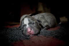 Pup (Alasdaircrawford) Tags: staffie staffordshire staffy puppy pup pupper dog pet canine terrier bulldog bull cute new