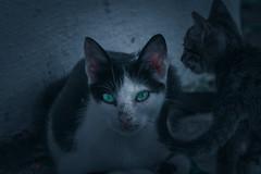 green eyes cat (spipra) Tags: animals cats green eyes dark
