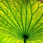 Green Lotus Leaf thumbnail
