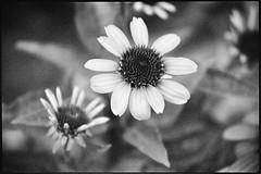 Black Eyed Susans (Joe_R) Tags: flower iso400 pentaxk1000 blackeyedsusan bw kodaktrix400 film trix monochrome analog filmdev:recipe=12208 kodakhc110 film:brand=kodak film:name=kodaktrix400 film:iso=400 developer:brand=kodak developer:name=kodakhc110 grain