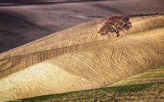 Albero solitario (SDB79) Tags: campagna molise ururi albero terra paesaggio rurale