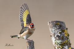 Chardonneret élégant (sfrancois73) Tags: oiseau faune affût chardonneretélégant envol drinkstation jardin
