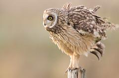 HdMebrouage (Plumes connection) Tags: hibou des marais asio flammeus shorteared owl