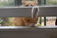 Jimmy at the window, 2 (rootcrop54) Tags: jimmy orange ginger tabby male cat open window insideoutside neko macska kedi 猫 kočka kissa γάτα köttur kucing gatto 고양이 kaķis katė katt katze katzen kot кошка mačka gatos maček kitteh chat ネコ insidecatenclosure