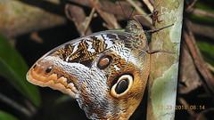 Caligo idomeneus (Linnaeus, 1758), Nymphalidae, Atlantic forest, northern littoral of Bahia, Brazil (Alex Popovkin, Bahia, Brazil) Tags: taxonomy:family=nymphalidae taxonomy:genus=caligo taxonomy:binomial=caligoidomeneus geo:country=brazil geo:lat=1216 geo:lon=3796 geo:alt=100 entreriosbahiabrazil bahiabrazil brazil atlanticforest