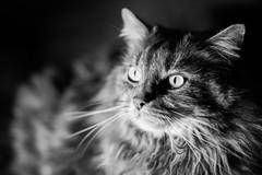Loki le chat (uluqui) Tags: canon 6d sigma 50mm cat animal portrait kitty lowkey mainecoon noiretblanc