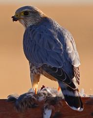 Merlin (Taiga) (Circled Thrice) Tags: falcon bird birdofprey prey raptor predator wild wildlife nature natural nwr rockymountainarsenal nationalwildliferefuge refuge colorado co commercecity aurora denver canon eos rebel t5i merlin